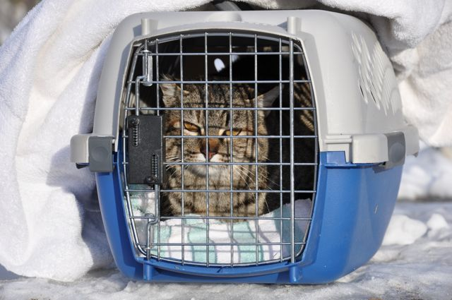 Farrah, the feral cat, awaits her freedom today. (February 11, 2011)