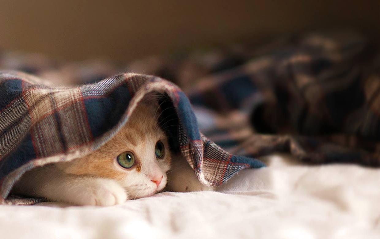 kitten-blanket