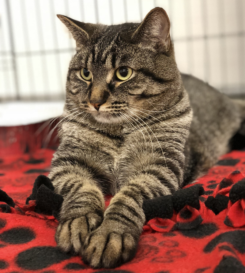 male tabby cat