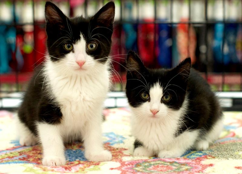 two tuxedo kittens