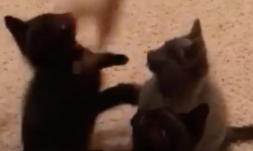 Fever Coat Kittens!